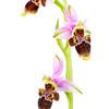 Ophrys scolopax. España