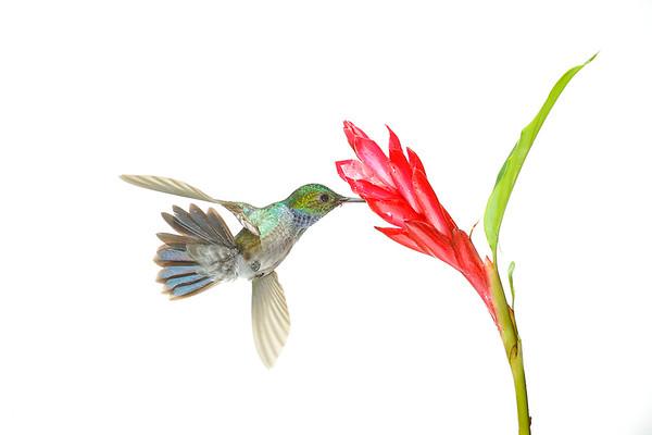 Colibri gorguizafiro ( Lepidopyga caeruleogularis). Burvayar. Panama.