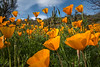 Arizona Poppies