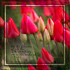 TULIPS%20WITH%20SAYING