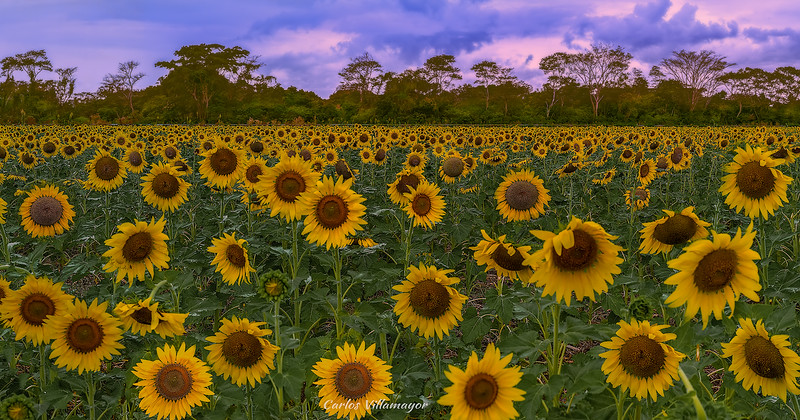 Girasoles en Tabasco
