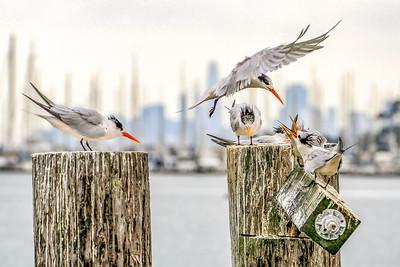 Elegant Terns Feeding