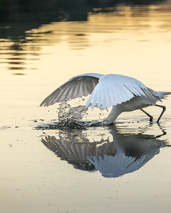 Heron Fishing for Herring