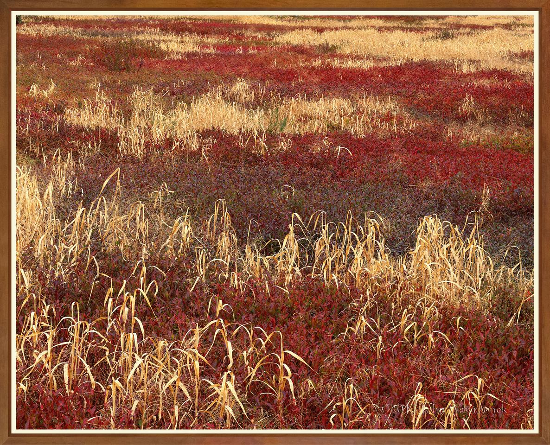 Grass & Lowbush Blueberries III