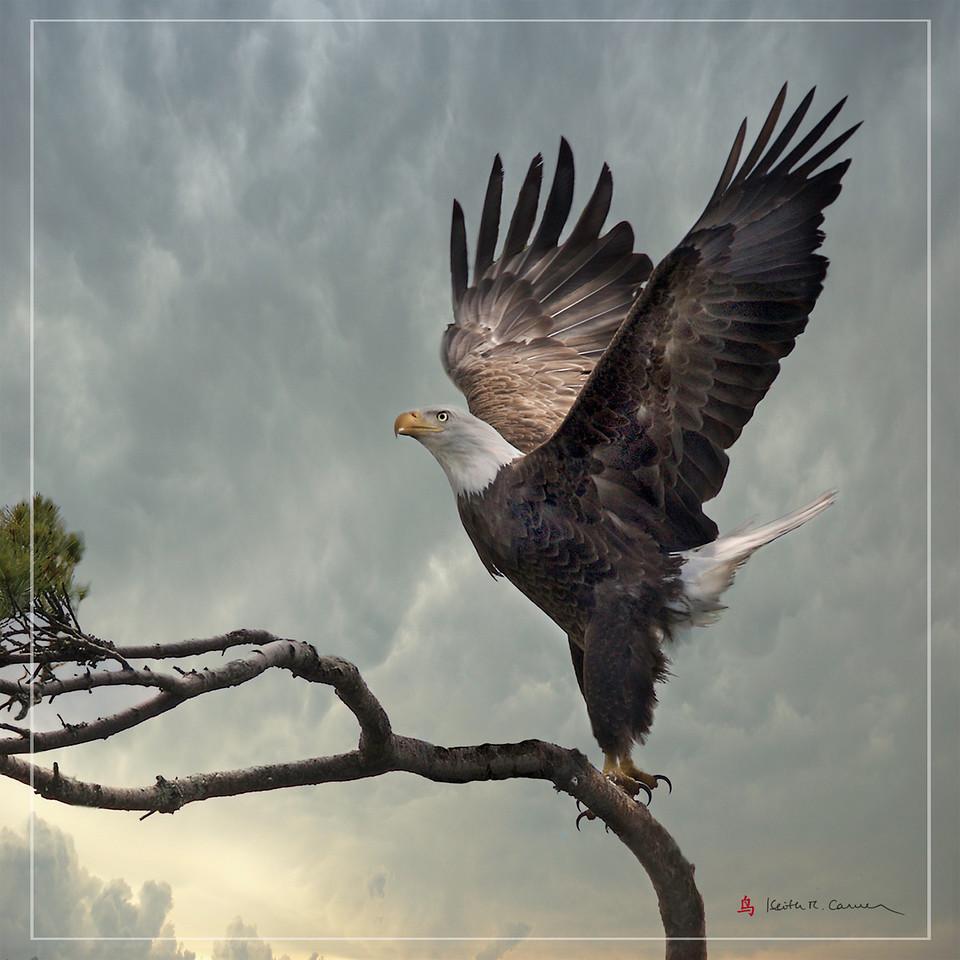 Bald Eagle, Damariscotta Lake