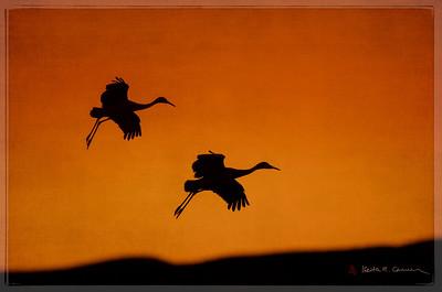 Sandhill Cranes parachute landing at sunset