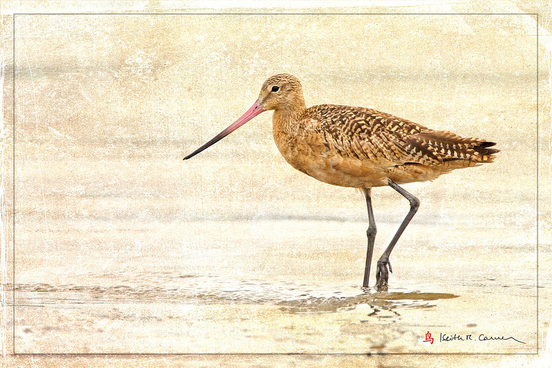Marbled Godwit, Pine Point, Scarborough Marsh, Maine