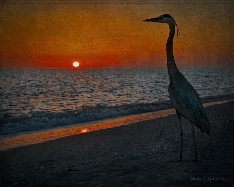 Great Blue Heron and Sanibel sunset