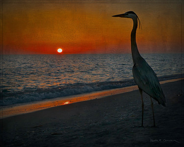 Great Blue Heron and Sanibel sunset