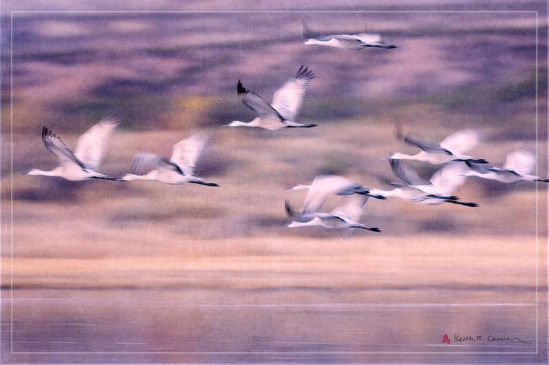 Sandhill Cranes - intentional blur