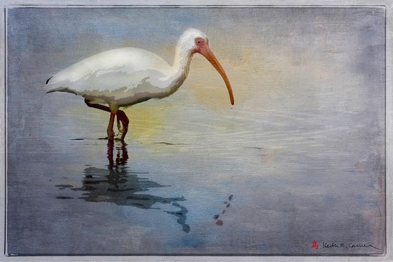 White Ibis, Ding Darling NWR, February 2011