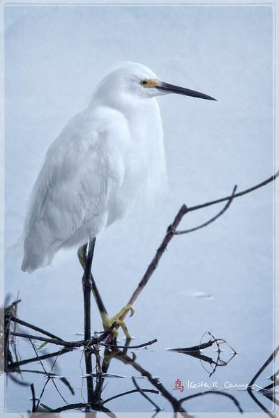 Snowy Egret, Ding Darling NWR, January 2013