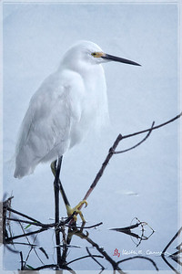Snowy Egret, Ding Darling NWR, January 2013