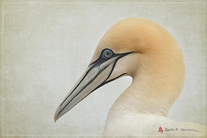 Northern Gannet head