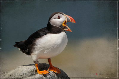 Atlantic Puffin, Machias Seal Island