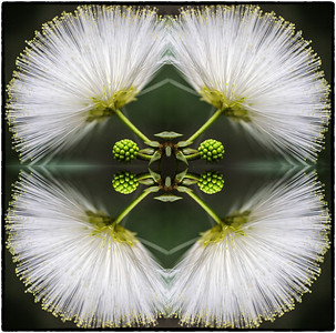 Fairy Duster flower flipped twice