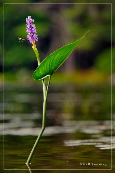 Pickerel weed and bee