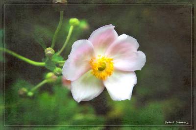 Anemone hybrid cultivar