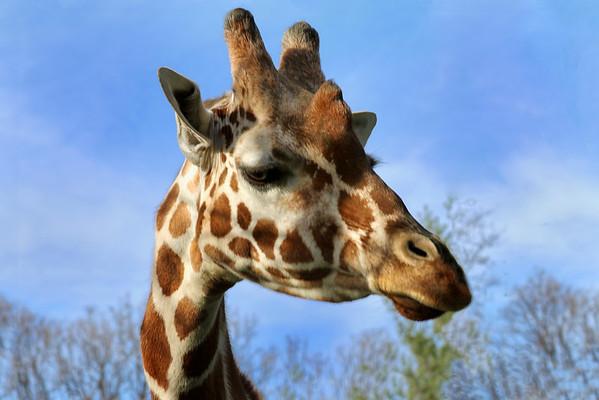 Giraffe - Baltimore Zoo