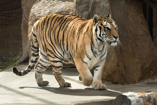 What a Beautiful Tiger