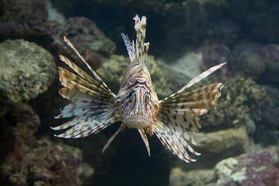 Bermuda. Lion Fish