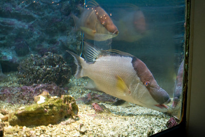 Bermuda, Hogfish grow to about two feet.