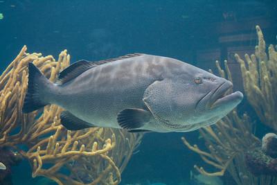 Bermuda, Grouper