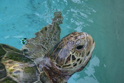 Bermuda, Local Tortoise