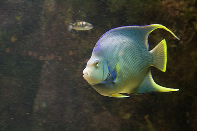 Bermuda, Adult Queen Angel- arguably among the most beautiful fish in the ocean.