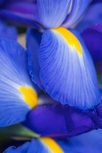 BLUE IRIS   12