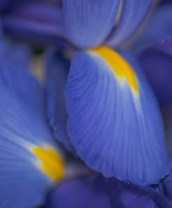 BLUE IRIS   16