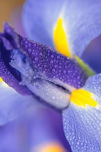 BLUE IRIS   18