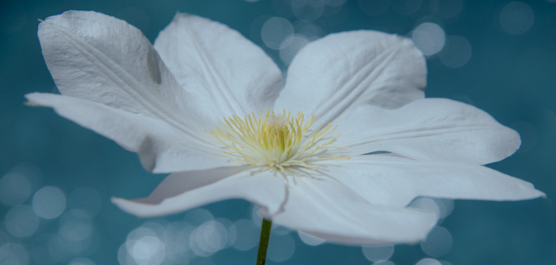 Blue Clematis 2