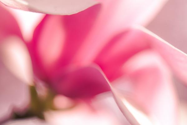 Saucer Magnolia 8