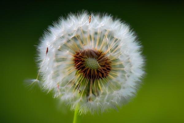 Dandelion 21