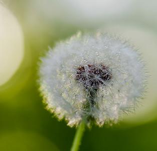 Dandelion 16