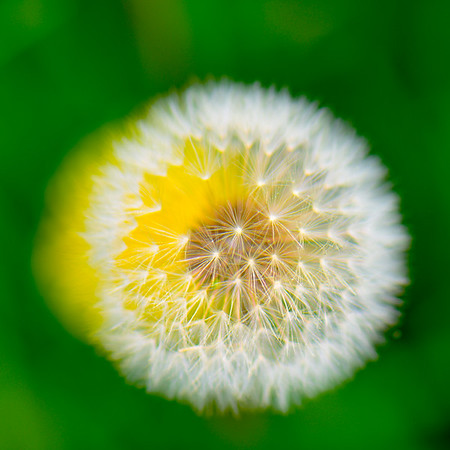 Dandelion 25