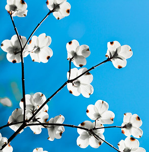 Dogwood with Sky