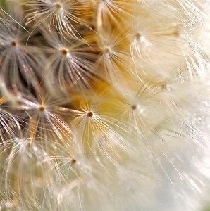 Dandy Feather CU