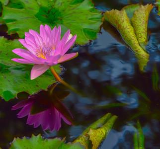 Lily Pond 19