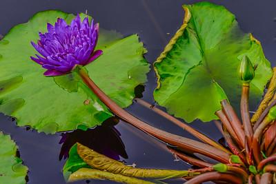 Lily Pond 18