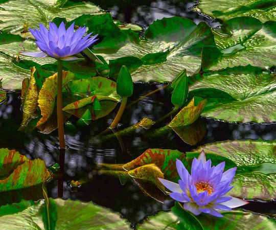Lily Pond 6