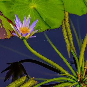 Lily Pond 13