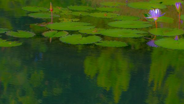 Lily  Pond 43
