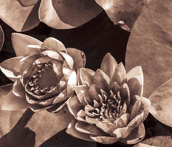 Lily  Pond 33