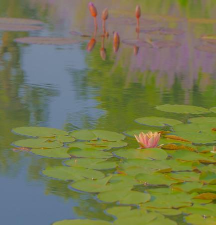 Lily  Pond 42