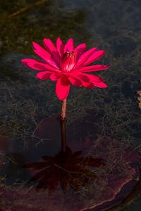 Lily  Pond 32