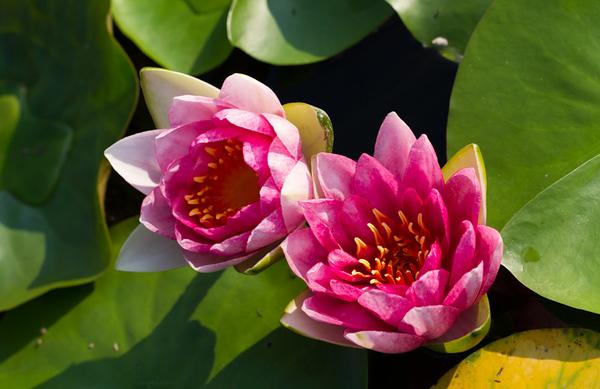 Lily  Pond 34