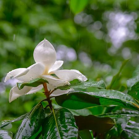 Manolia Tree 12