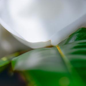 Magnolia 71